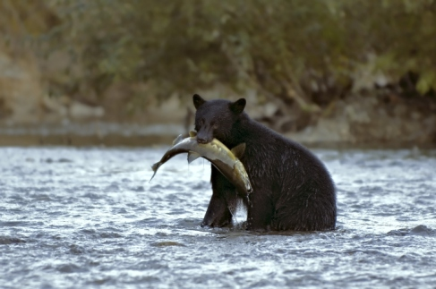 Black Bear hunting or fishing