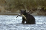 Black Bear with Fish