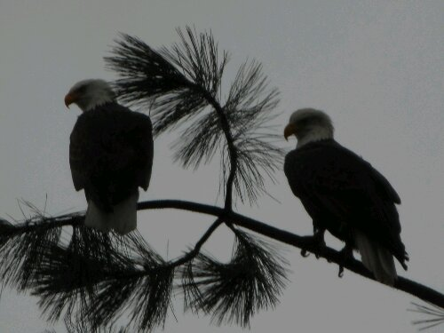 Eagles in Coeur d'Alene