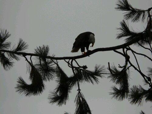 Eagle eating a fish